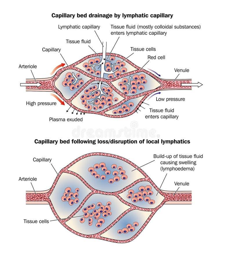 lymphoedema капилляра кровати бесплатная иллюстрация