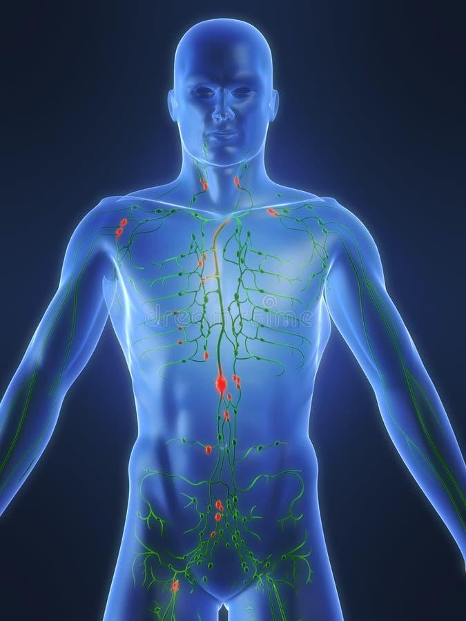 Lymphsystem lizenzfreie abbildung