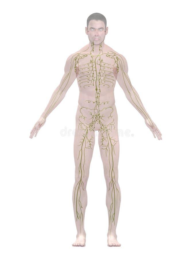 Nett Lymphsystem überblick Ideen - Menschliche Anatomie Bilder ...
