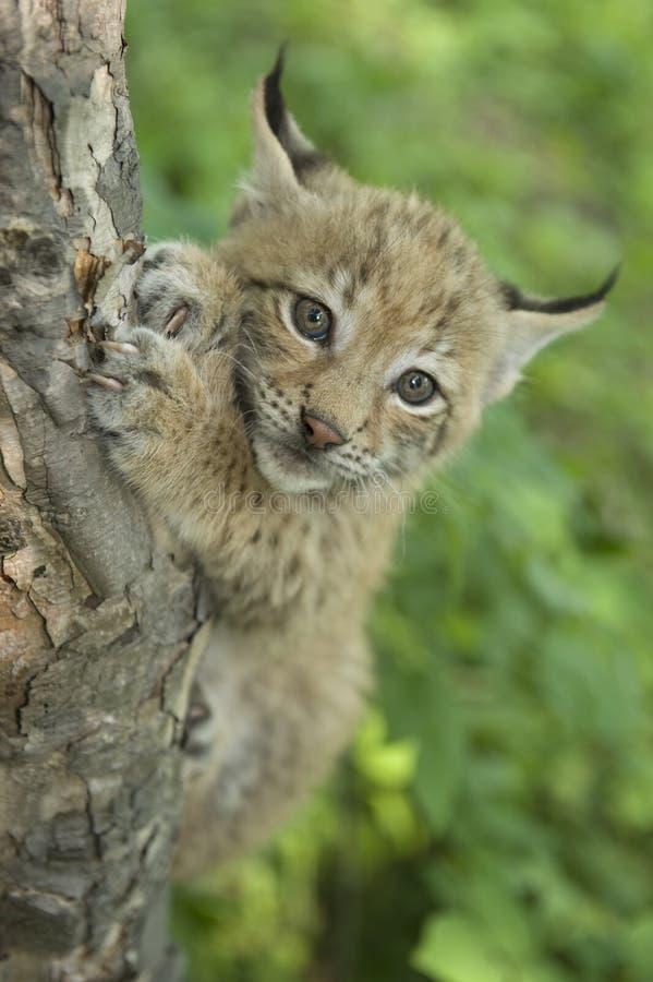 lynx котенка стоковые фотографии rf