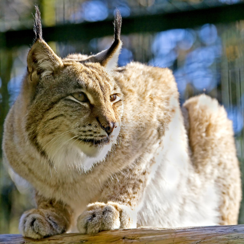 Download Lynx 1 stock image. Image of species, enclosure, view - 7435031