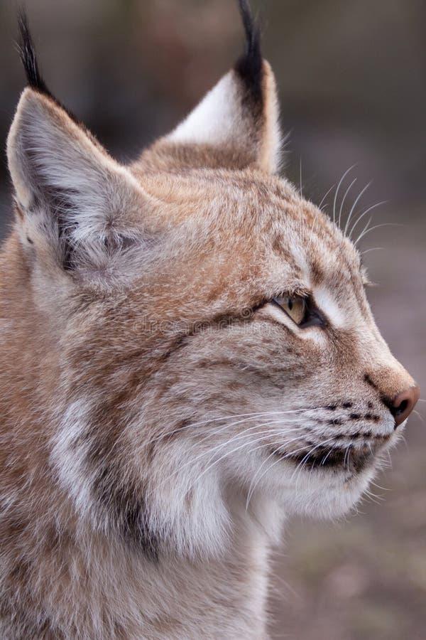 Download Lynx stock image. Image of mouth, portrait, felis, feline - 11346493