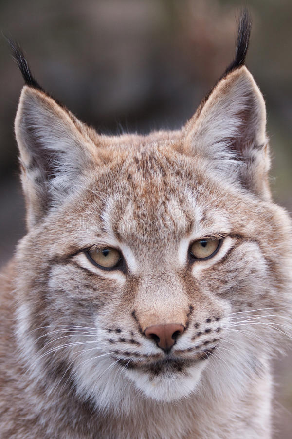 Download Lynx stock image. Image of open, kitty, details, portrait - 11346537