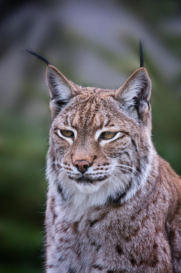 Lynx. Cat front on in colour royalty free stock photos