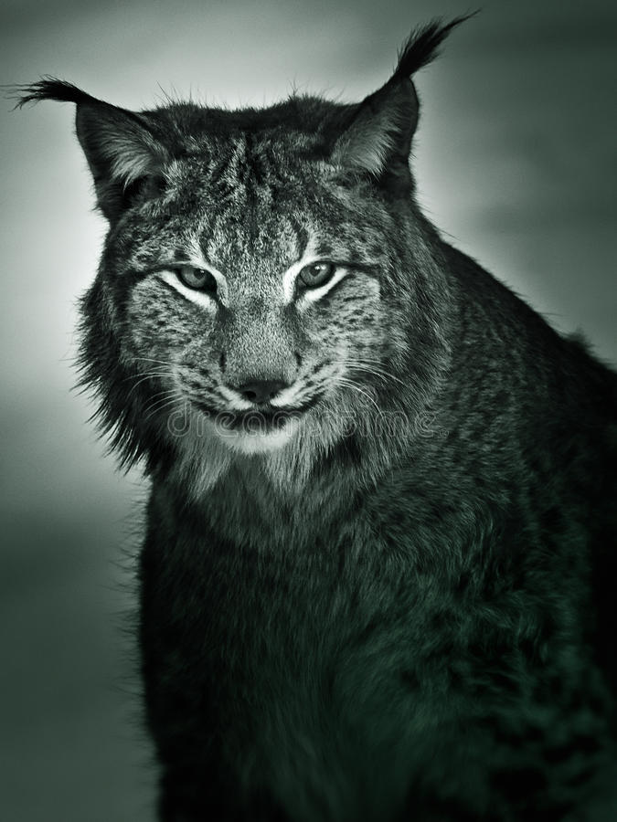 Lynx. A black & white portrait of a lynx (Wild Cat stock photo