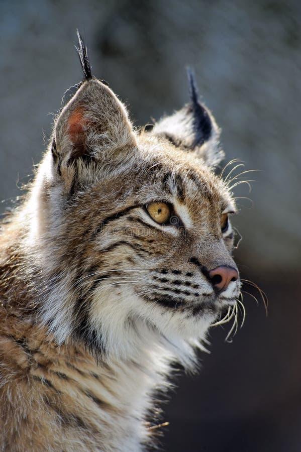 Download Lynx stock photo. Image of wildcat, carnivore, animal - 14398762