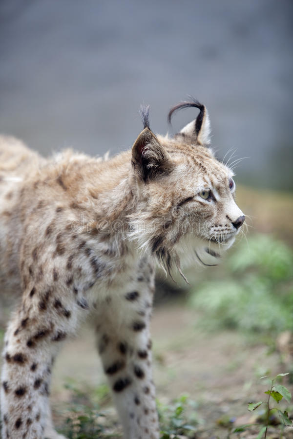 Download Lynx stock image. Image of strong, carnivorous, roaring - 15887065