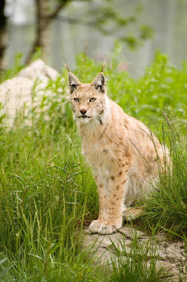 Download Lynx stock photo. Image of lynx, nature, eyes, animal - 17194592