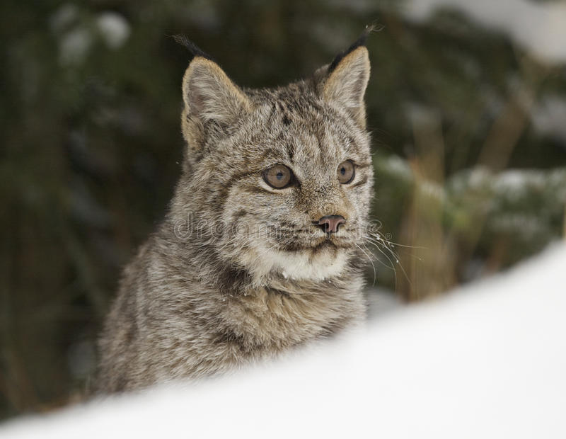 Download Lynx stock photo. Image of feline, beast, zoology, wildlife - 18645758