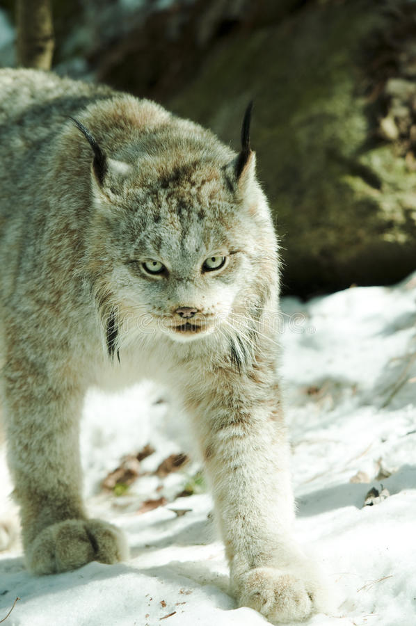 Download Lynx Royalty Free Stock Photo - Image: 18998455