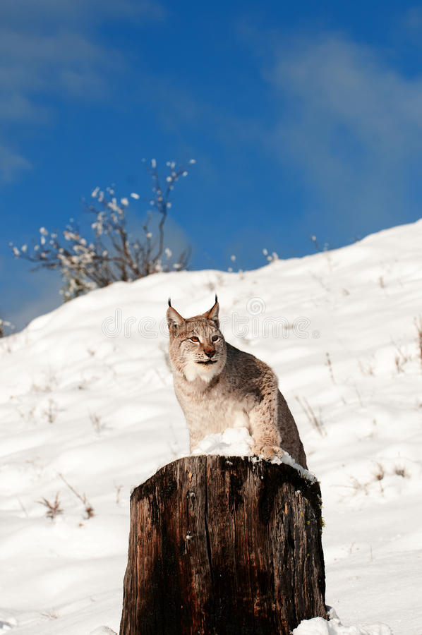 Download Lynx Royalty Free Stock Photography - Image: 19694437