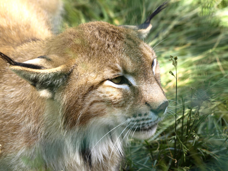 Download Lynx stock photo. Image of ferocious, background, grass - 19857042