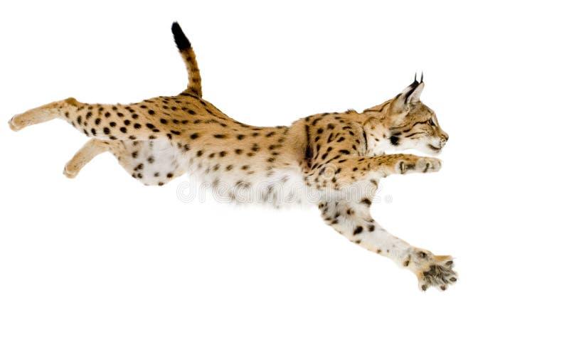 Lynx (2 jaar) royalty-vrije stock fotografie