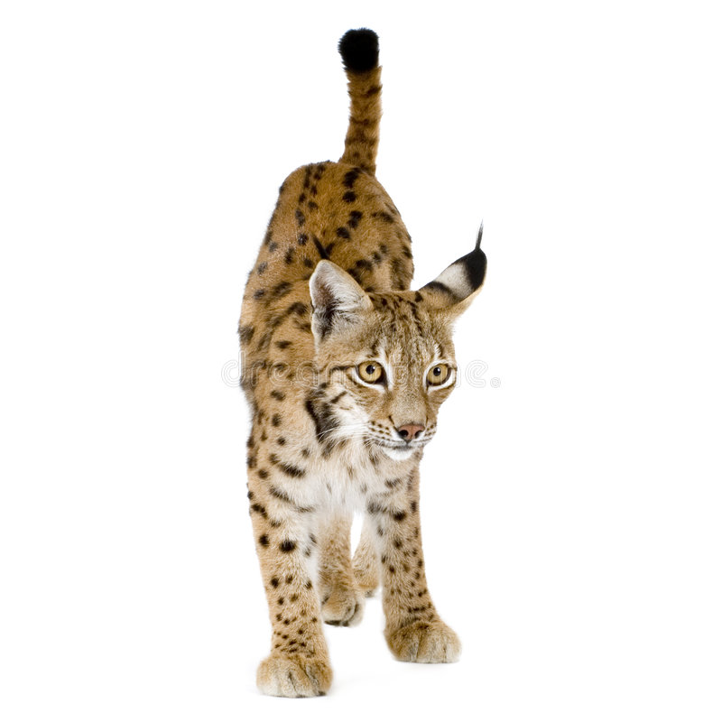 Download Lynx (2 Years) Royalty Free Stock Photos - Image: 2809618