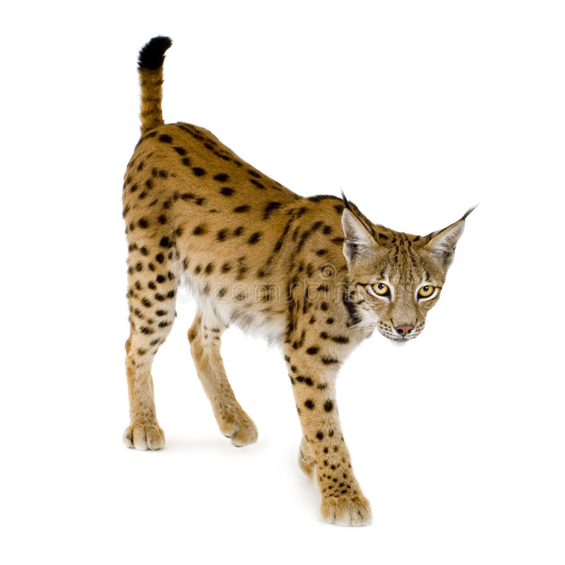 Download Lynx (2 years) stock photo. Image of moving, bobcat, background - 2809658