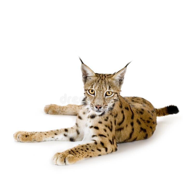 Download Lynx (2 years) stock image. Image of nature, studio, beauty - 2809667