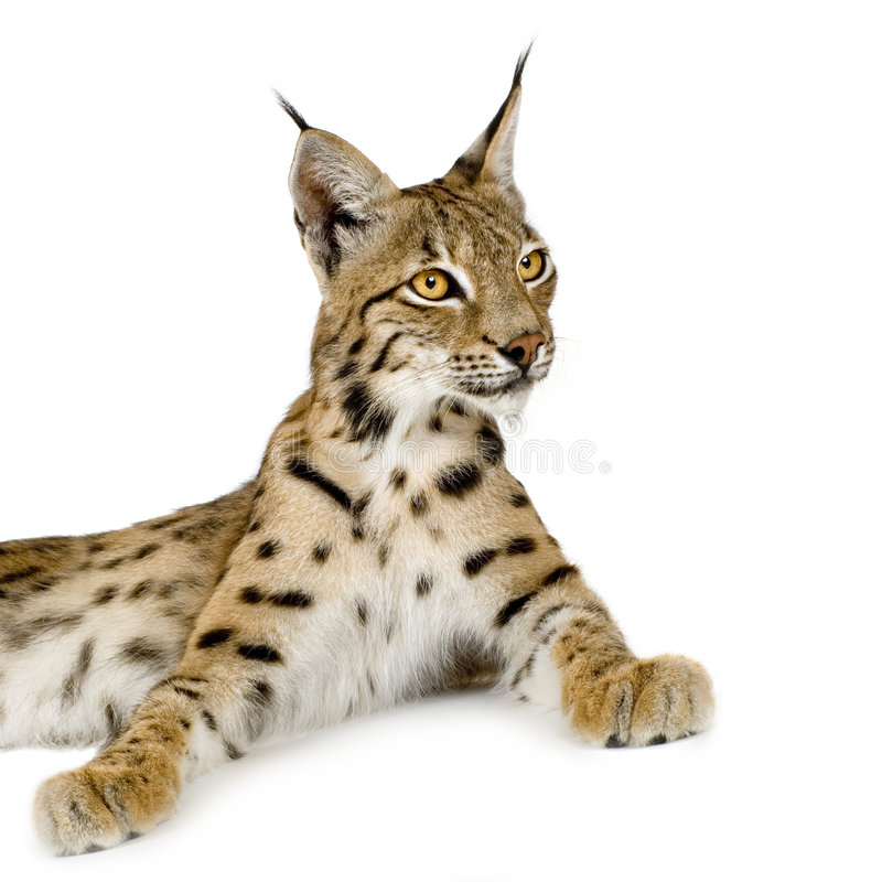 Download Lynx (2 years) stock photo. Image of furry, catlike, majestic - 2809790