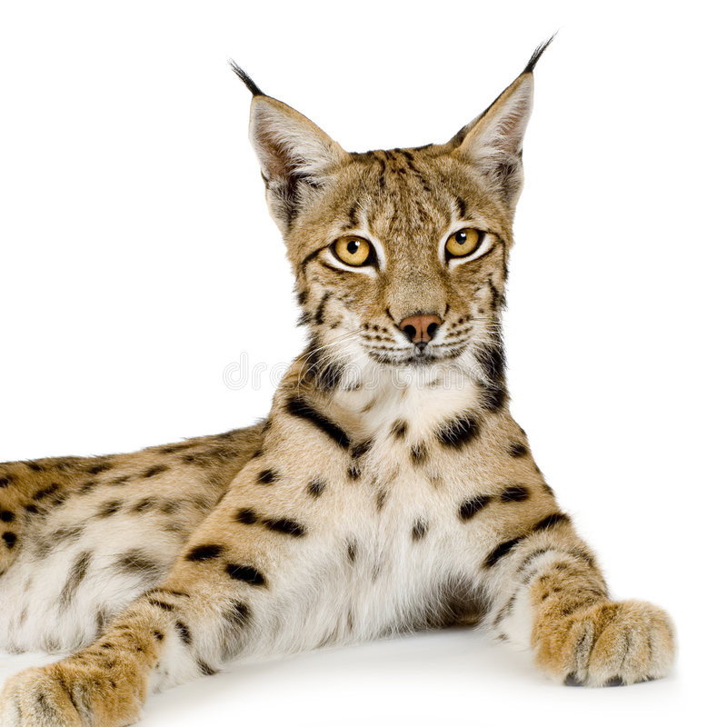Lynx (2 Years) Stock Photography