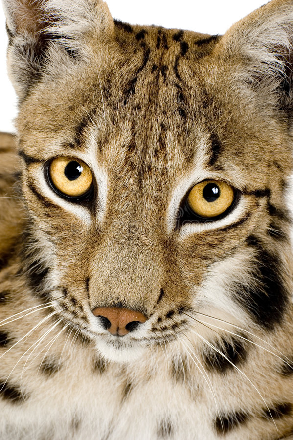 Download Lynx (2 years) stock photo. Image of shot, close, animal - 2809976