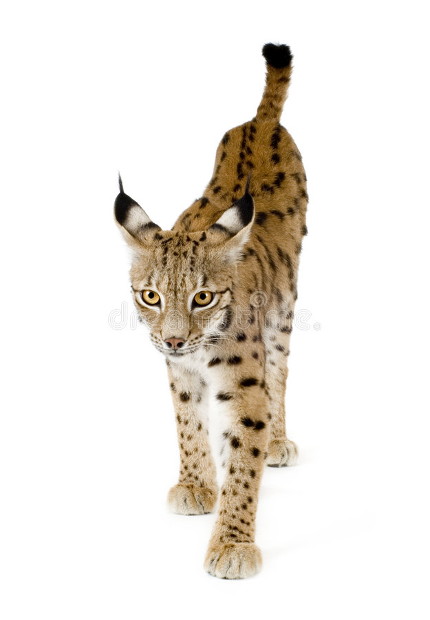 Download Lynx (2 Years) Stock Photo - Image: 2809990