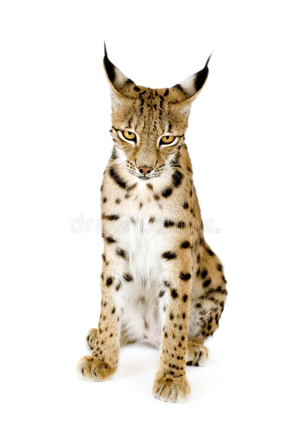 Download Lynx (2 years) stock image. Image of beauty, ears, nature - 2810107