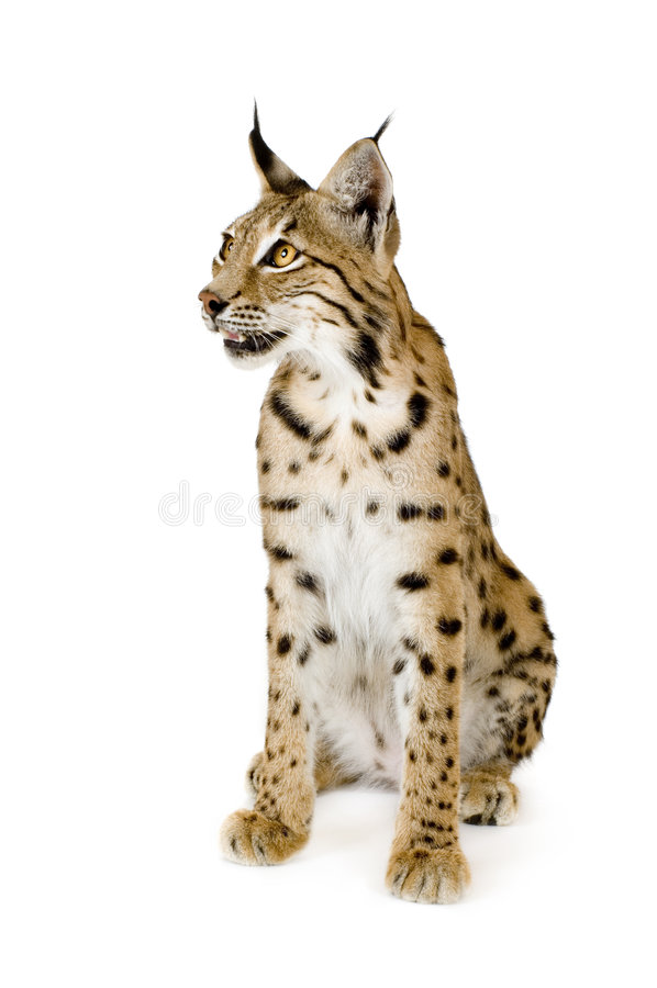 Download Lynx (2 Years) Royalty Free Stock Images - Image: 2810199