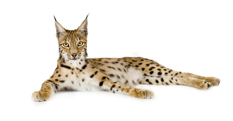 Download Lynx (2 years) stock image. Image of resting, predator - 2810419
