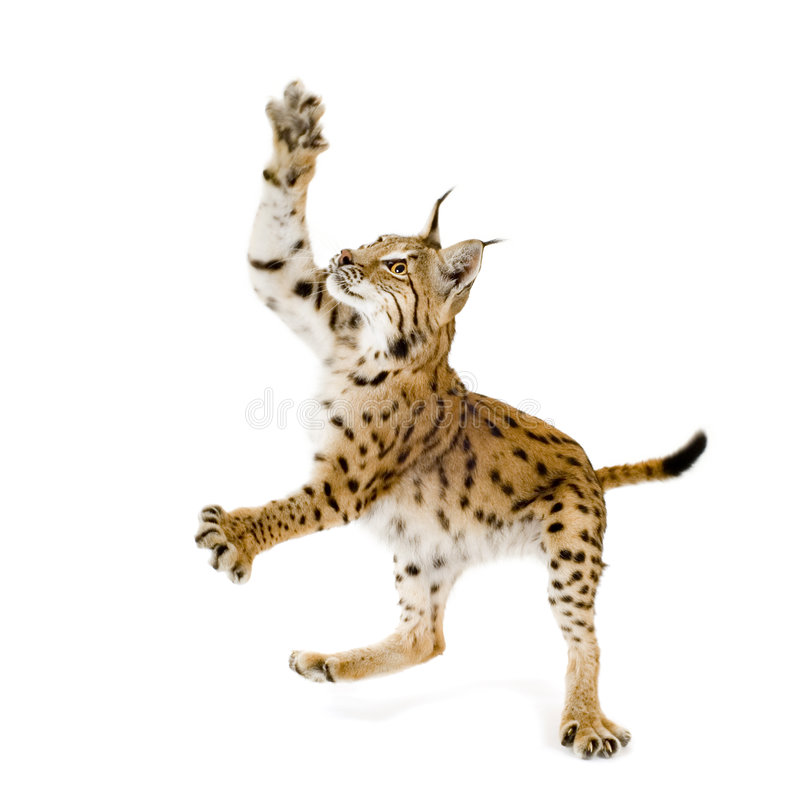 Download Lynx (2 years) stock photo. Image of jump, nocturnal, angry - 2810610