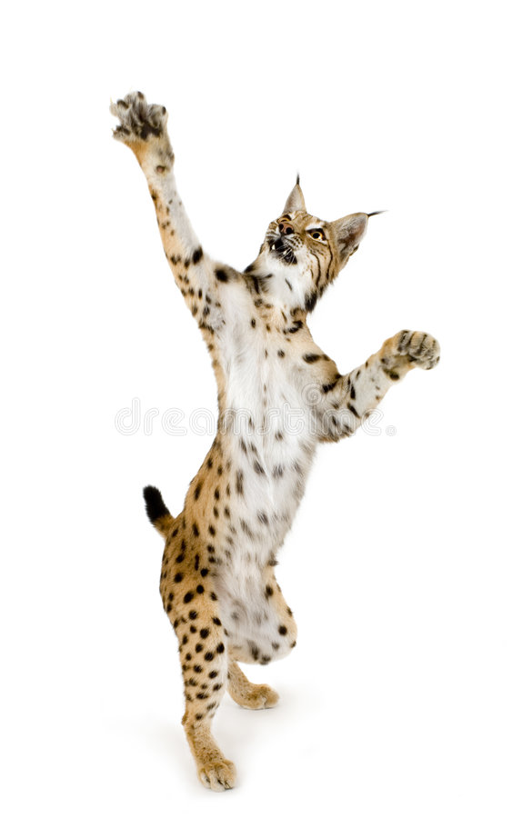 Lynx (2 Years) Royalty Free Stock Photos