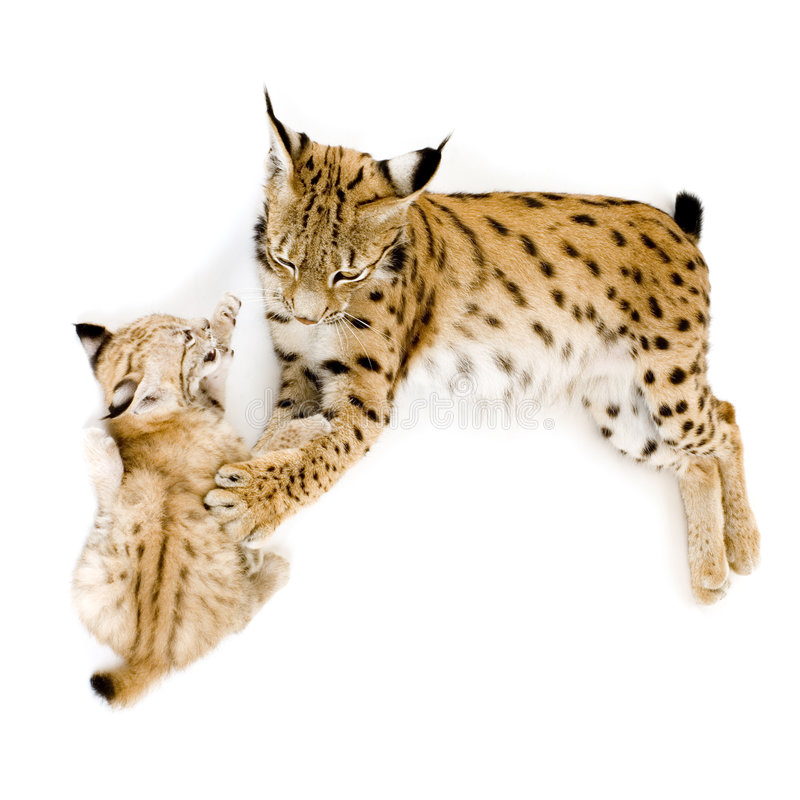 Download Lynx (2 years) and her cub stock image. Image of childhood - 2810481