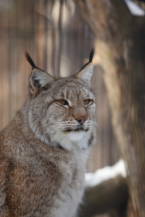 Download Lynx stock photo. Image of lynx, danger, russia, hunting - 2098212