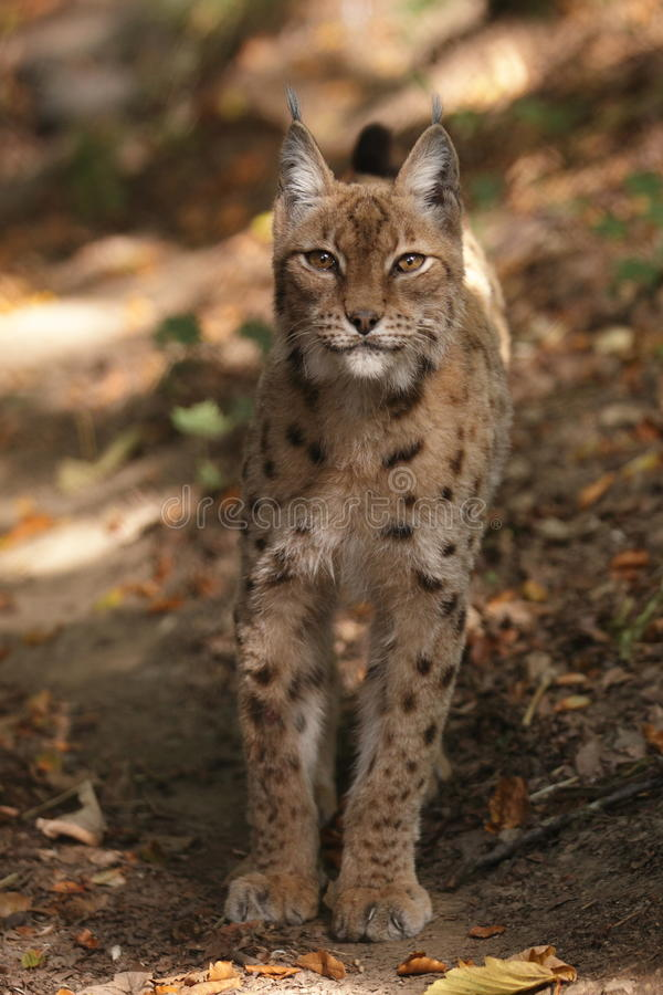 Lynx. The gazing lynx in the wood stock photography