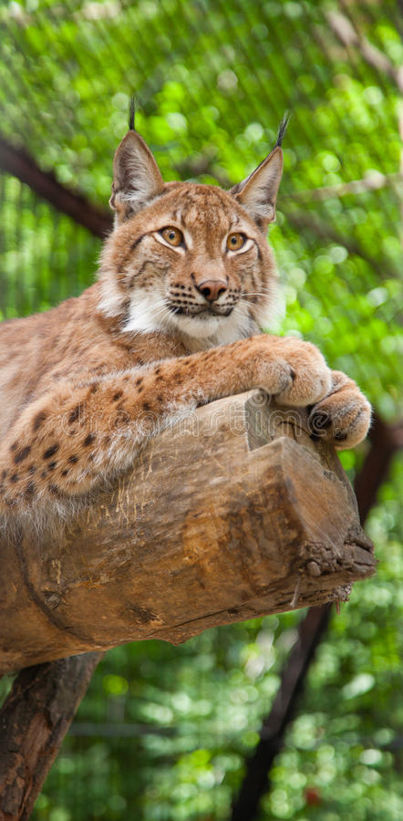 Download Lynx stock image. Image of green, hair, side, animal - 21504535