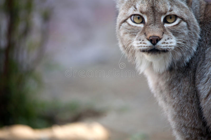 Lynx. Close-up of face and torso of beautiful lynx stock image