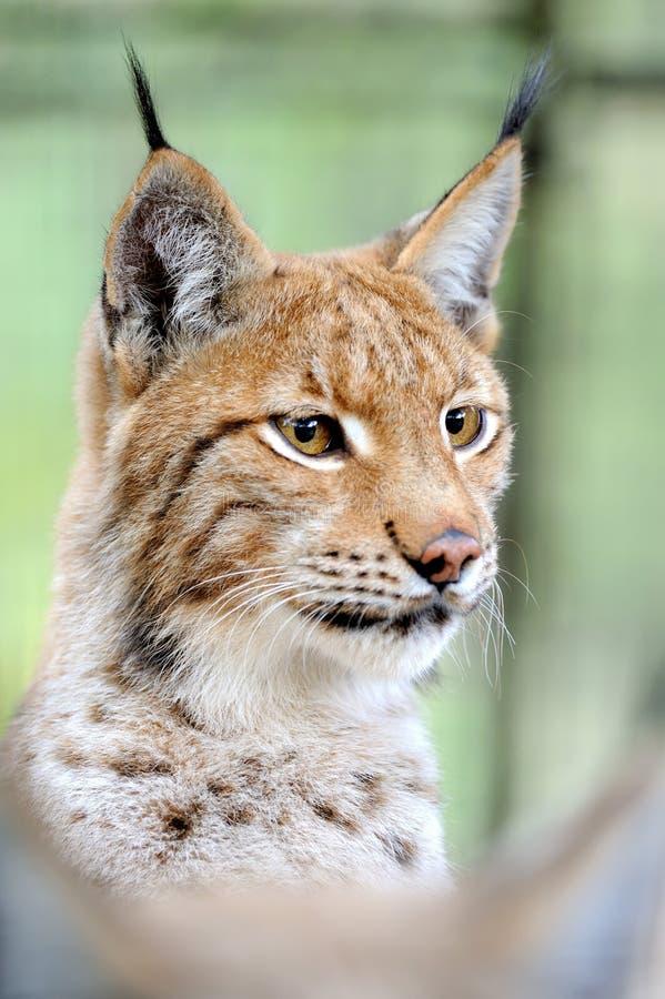 Download Lynx stock photo. Image of natural, roar, portrait, predator - 22380080