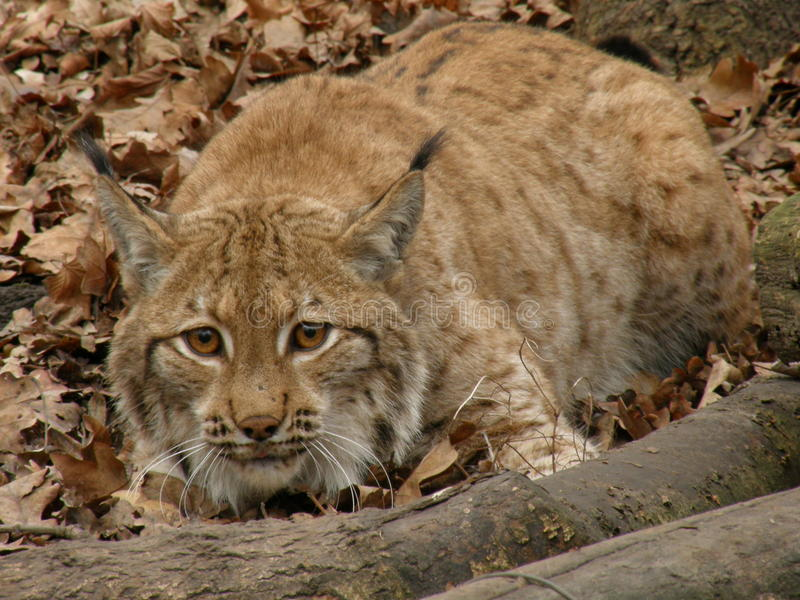 Download Lynx stock photo. Image of mammals, wildlife, lynx, portraits - 22938648