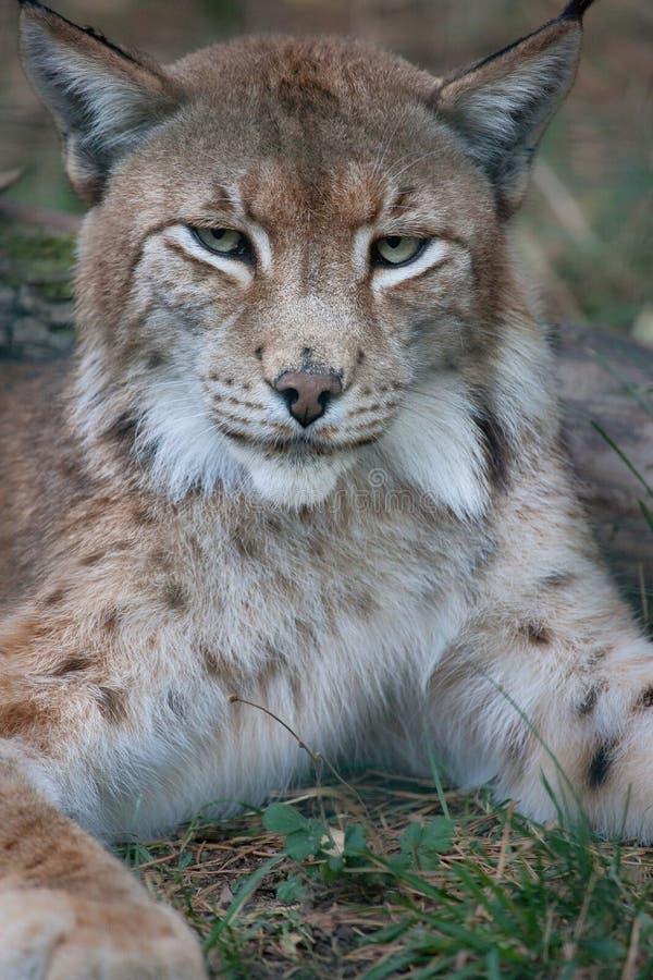 Download Lynx Stock Image - Image: 23259431