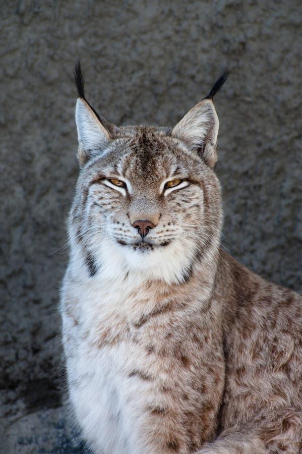 Lynx Стоковое фото RF