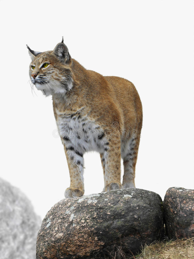 Lynx. On rocks with lichen during spring time royalty free stock photography