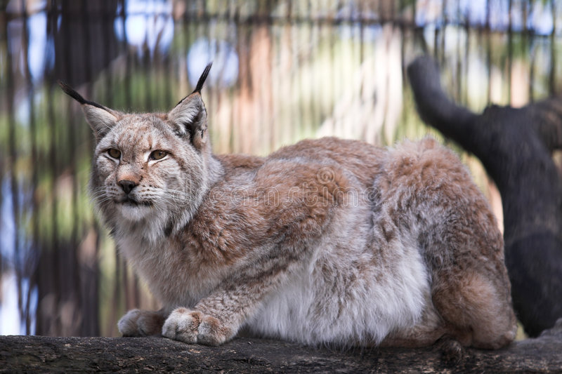 Download Lynx stock image. Image of nature, siberia, sitting, animal - 2448621