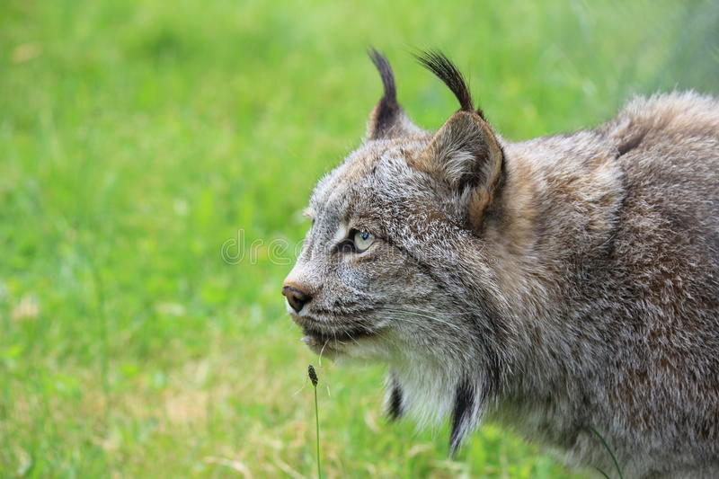 Download A lynx stock image. Image of mammal, predator, cats, female - 24812077