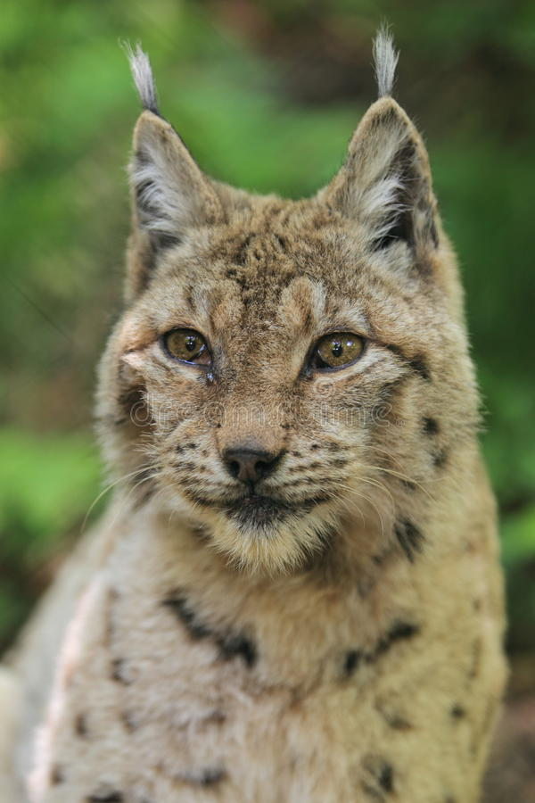 Download Lynx stock image. Image of nature, animal, upper, body - 24872761
