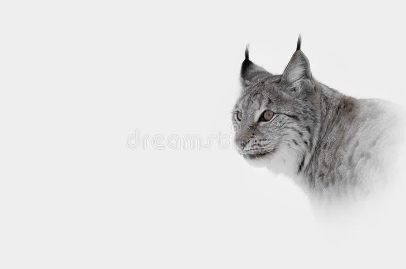 lynx стоковое изображение