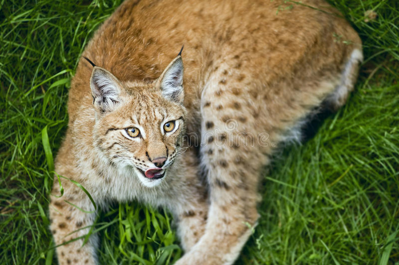 Download Lynx stock photo. Image of carnivorous, life, stockholm - 25676172
