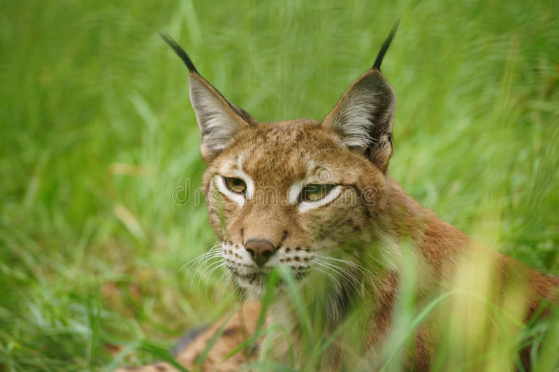 Download The Lynx Royalty Free Stock Images - Image: 26350559