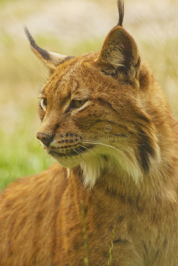 Download Lynx stock photo. Image of endangered, focus, animals - 26865306
