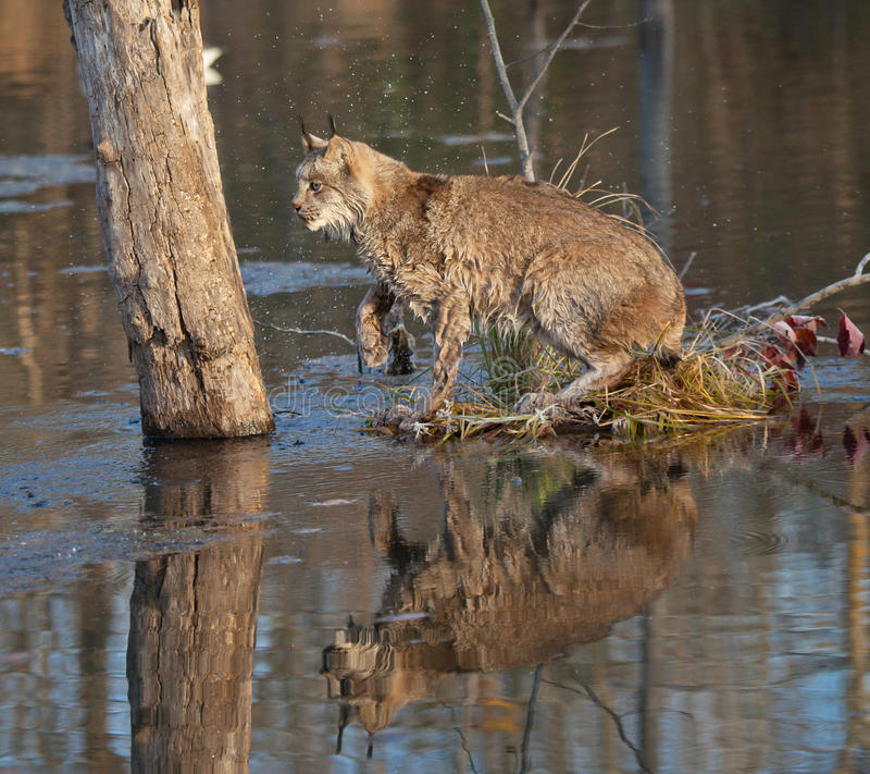 Download Lynx Royalty Free Stock Photos - Image: 27191218
