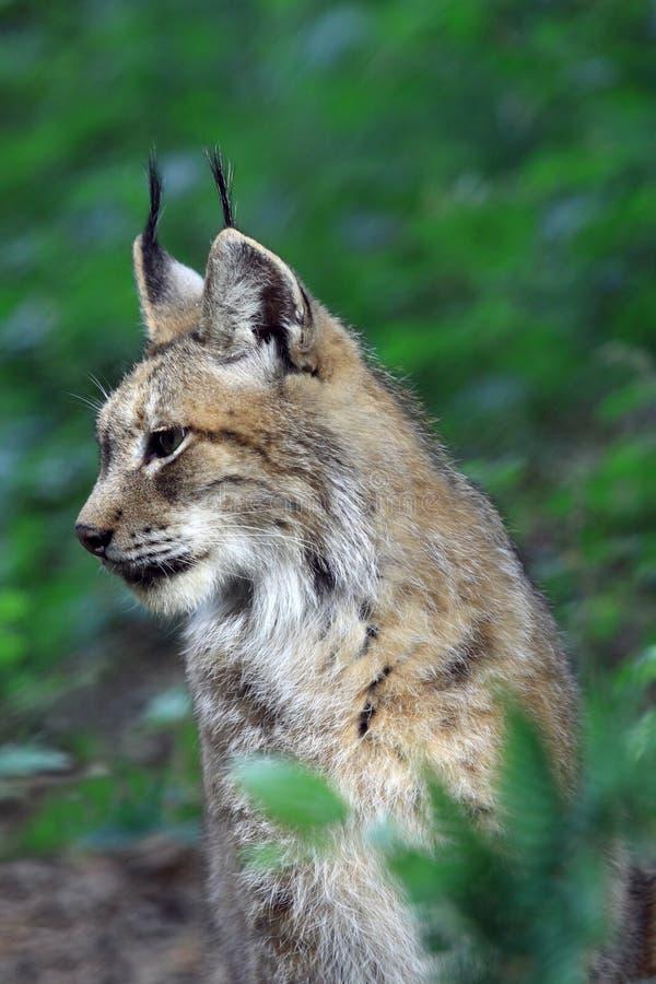 Download Lynx stock image. Image of wildlife, predator, feline - 28345659