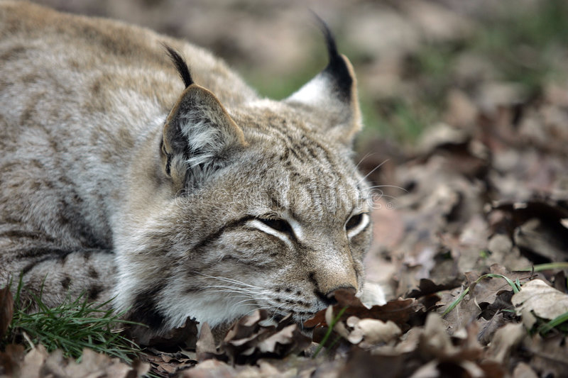 Download Lynx stock image. Image of wild, savaheness, lynx, sleep - 3826781