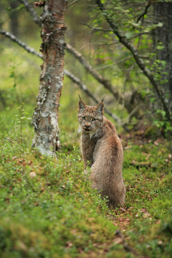 Download Lynx stock photo. Image of lynx, park, national, cats - 5266826